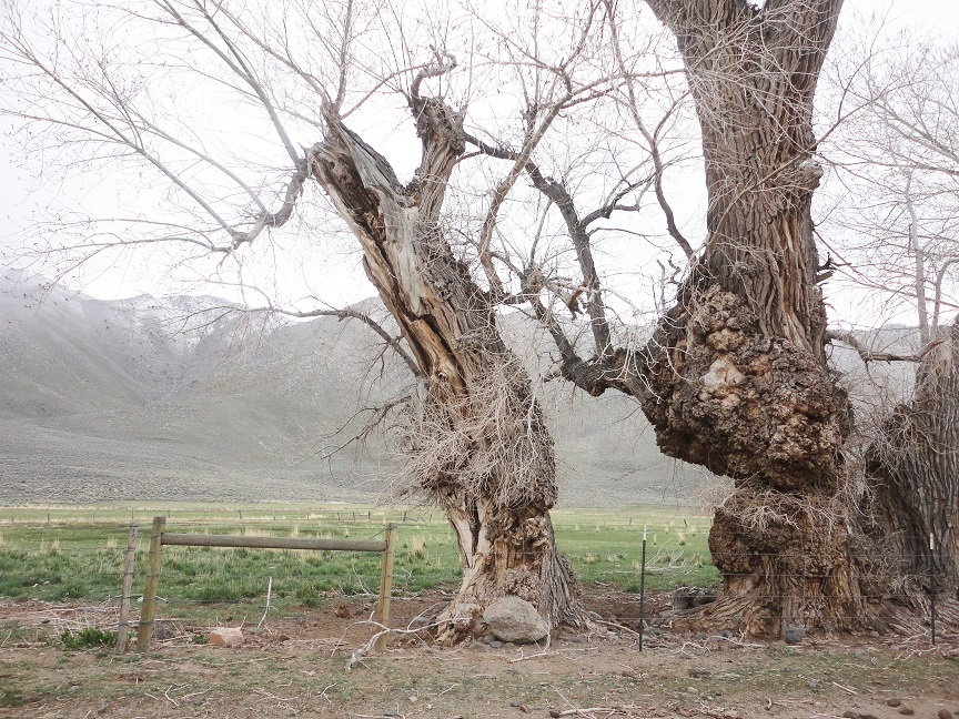 Cottonwoods in Nevada